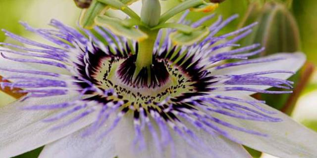 Fleur du fruit de la passion